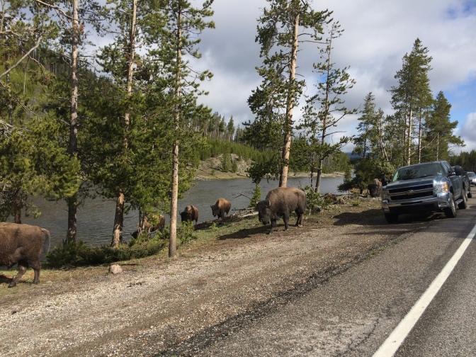 Lazy buffalo stopping traffic!