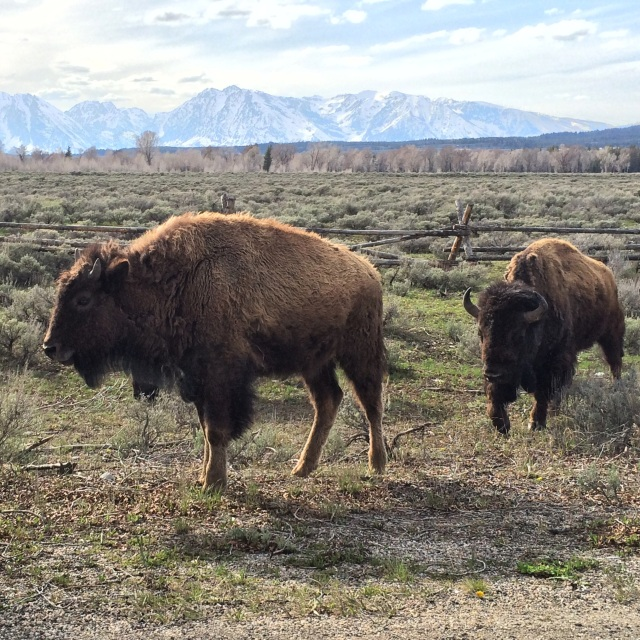 Baby bison posing in Grand Tetons National Park