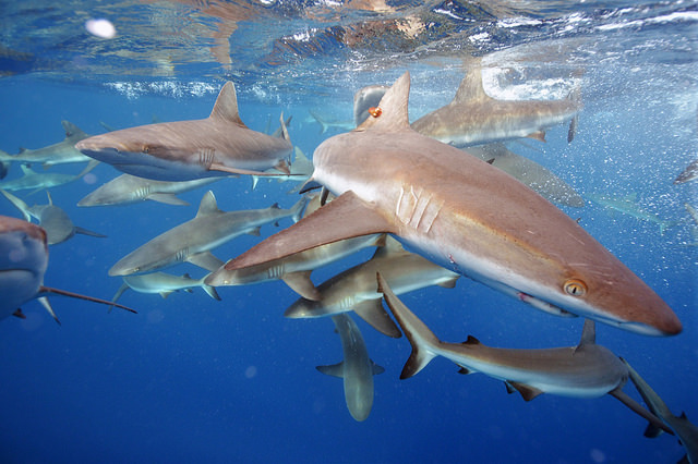 Grey reef sharks protected by the National Monument status