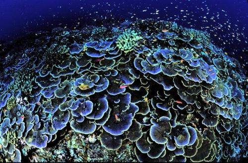 Coral at Jarvis Island National Wildlife Refuge