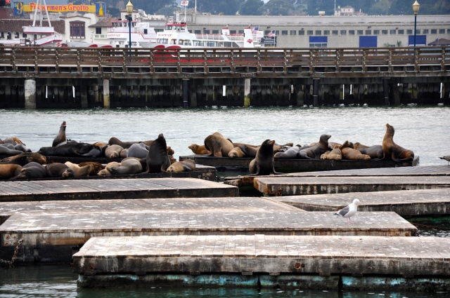 Sea lions at home, snuggled up on the docks of Pier 39.